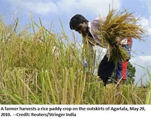 Rice paddy crop near Agartala